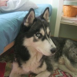 Husky do adopcji