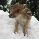 Dziczek w śniegu