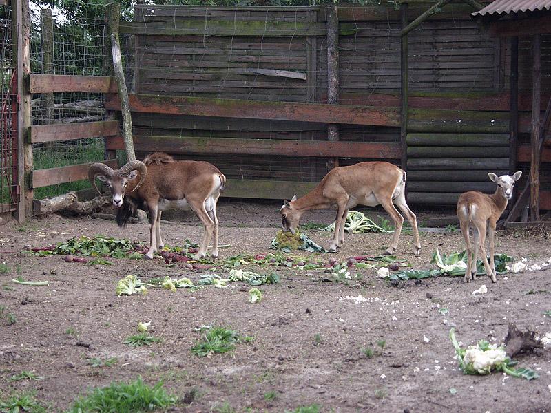 Muflony podczas jedzenia