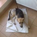 Piękny pies do adopcji